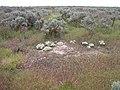 Lepidium papilliferum habitat 4.jpg