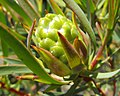 Leucadendronsalicifolium.jpg