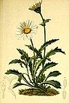 Leucanthemum alpinum Atlas Alpenflora.jpg