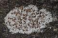 Lichen (28193099817).jpg