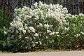 Lilac cultivar.jpg