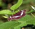 Limenitis camilla - Flickr - gailhampshire (1).jpg
