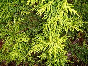 Cupressus macrocarpa - Semi-juvenile foliage of cultivar 'Goldcrest'