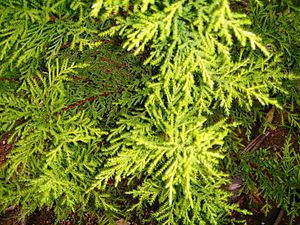 Cupressus macrocarpa cv. 'Goldcrest'