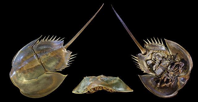 Cangrejo herradura (Limulus polyphemus)