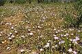 Linanthusdianthiflorus-field.jpg