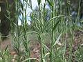Linaria arvensis leaf2 (15287463685).jpg
