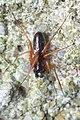 Linyphia hortensis male Bytom.jpg