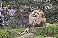Lion - melbourne zoo.jpg