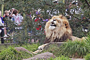 Lion at Melbourne Zoo enjoying an elevated grassy area with some tree shelter