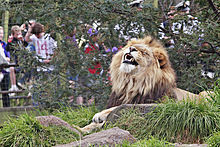 220px-Lion_-_melbourne_zoo dans LION