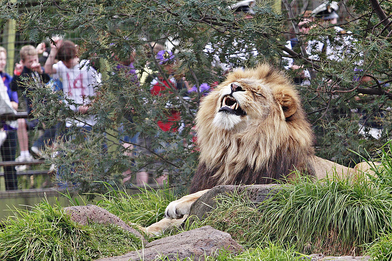 File:Lion - melbourne zoo.jpg