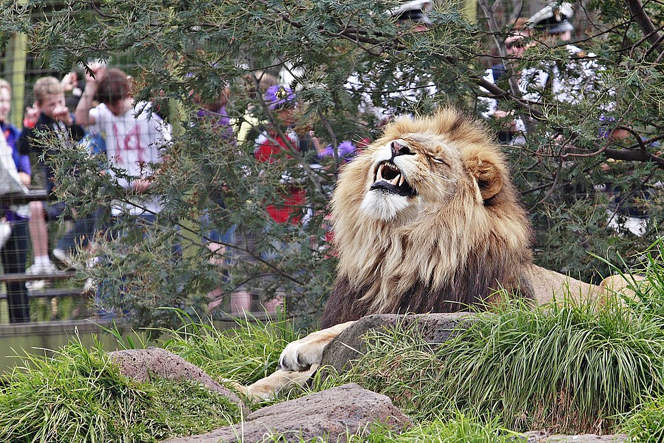 Lion - melbourne zoo