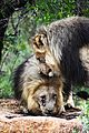 Lion males 1.jpg