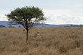Lions, Serengeti.jpg