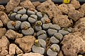 Lithops schwantesii-0254 - Flickr - Ragnhild & Neil Crawford.jpg