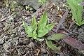 Lithospermum purpurocaeruleum kz02.jpg