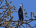 Little Blue Heron (26212635256).jpg