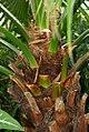 Livistona chinensis 0zz.jpg