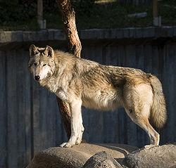 Loup du Canada au zoo de Madrid