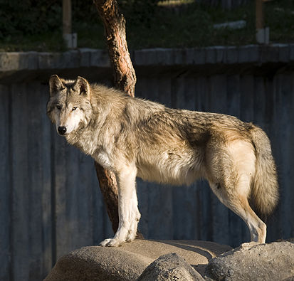 http://upload.wikimedia.org/wikipedia/commons/thumb/f/f4/Lobo_en_el_Zoo_de_Madrid_01_cropped.jpg/413px-Lobo_en_el_Zoo_de_Madrid_01_cropped.jpg