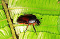 Lomaptera Flower chafer from W-Papua.jpg