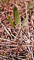 Lomatium nudicaule 3.jpg