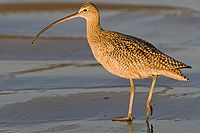 Long-billed Curlew (Numenius americanus), in late evening light.jpg
