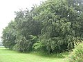 Long Wood, near Sledmere - geograph.org.uk - 1375007.jpg