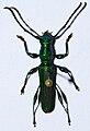 Longhorn Beetle (Phrosyne viridis) (8563996521).jpg