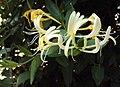 Lonicera japonica 13a.JPG