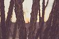 Lost Palms Oasis Trail - Cottonwood Spring (16019677052).jpg