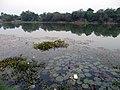 Lotus - panoramio (4).jpg