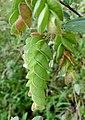 Luck plant .Flemingia strobilifera.jpg