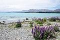 Lupinus sp. at Lake Tekapo, New Zealand 14.jpg