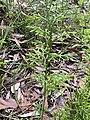 Lycopodium deuterodensum 01.jpg