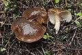 Lyophyllum decastes (45387078451).jpg
