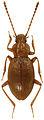 Lyrosoma pallidum male - ZooKeys-329-039-g001.jpg