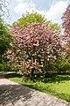 Münster, Park Sentmaring, Japanische Blütenkirsche -- 2015 -- 5708.jpg