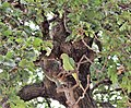 Ma - Psittacula krameri - 3.jpg