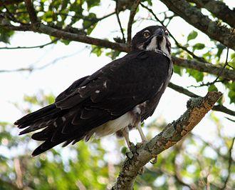 Bat hawk - Bat hawk at Cape Vidal, northern Natal, South Africa