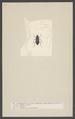 Macronychus - Print - Iconographia Zoologica - Special Collections University of Amsterdam - UBAINV0274 001 03 0062.tif