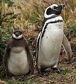 Magellanic Penguins at Otway Sound, Chile (5521311764).jpg