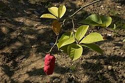 Magnolia cylindrica A.jpg