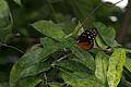 Mainau - Schmetterlingshaus - Schmetterlinge 029.jpg