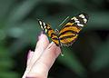 Mainau - Schmetterlingshaus - Schmetterlinge Hand 002.jpg