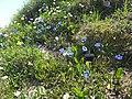 Malá Fatra, kvety v júni (1).jpg