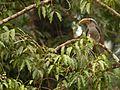 Malabar Grey Hornbill D085503.jpg