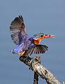 Malachite Kingfisher, Alcedo cristata at Marievale Nature Reserve, Gauteng, South Africa (20740963393).jpg