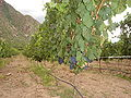 Malbec grapes on the vine.jpg